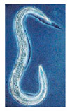 Fleabusters®  Nematodes 1 Million
